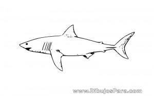 Dibujo de un Tiburón Blanco